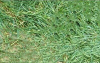 ঠাকুরগাঁওয়ে নিখোঁজ গরু ব্যবসায়ীর লাশ মিলল গম ক্ষেতে